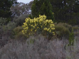 Desert Wattle - One of Nature's Symbols